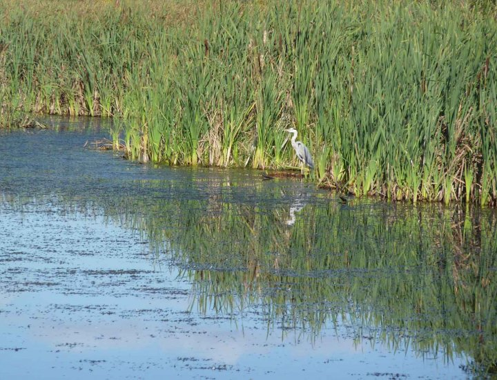 Heron at Tirfounder Fields